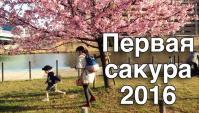 Раннее Цветение Сакуры в Японии в 2016. Первая Сакура - Видео