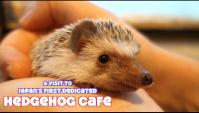 В Японии открылось кафе с ёжиками (Видео)