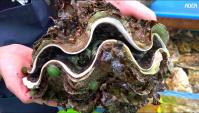 Продовольственная улица в Японии: Гигантский моллюск (Видео)