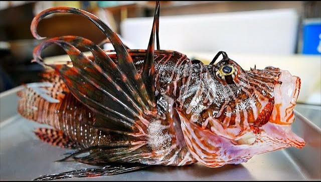 Японская Еда - Полосатая крылатка или рыба-лев (Видео)