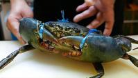 Японская Еда - Мангровый краб (Видео)