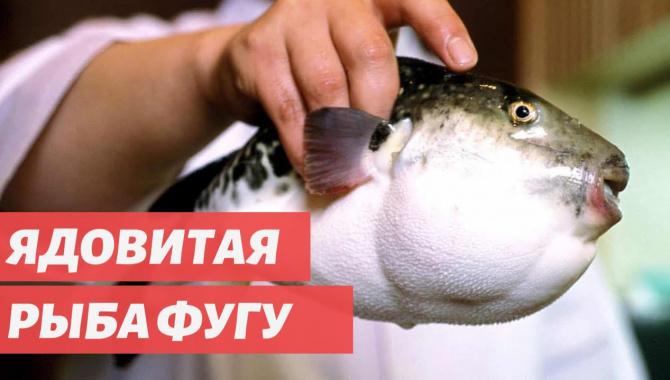 Удивительная еда со всего мира - Рыба фугу: рискованный японский деликатес (Видео)